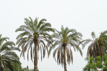 Date Palm trees with raw dates