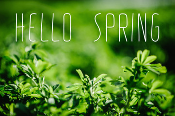Green field. Part of meadow, grass in background. green background for text away. Beautiful green grass, in soft morning sunlight. with space for text. hello spring. blog concept. alfalfa, lucerne