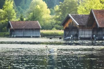 Swan with newborn cygnets on lake