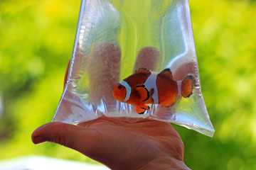 Ocellaris clownfish in the bag is ready to be transported to new home