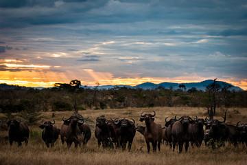 herd of buffalo at sunset