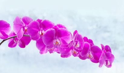 Blütenzweig einer Phalaenopsis Orchidee, Hintergrund hell