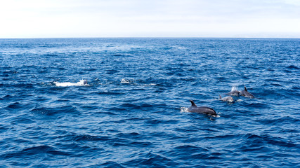 Playful dolphins swimming in open ocean waters near Ventura coast, Southern California