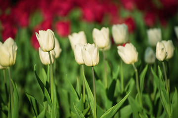 White beautiful tulips field in spring time, natural background