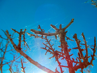 Dry tree with thorns and a spider web at sunset in Texas.   Nature image element for wallpaper design, beautiful bright background.