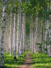 Russian birches, birch grove