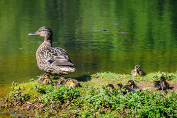 Duck family in a lake in Santiago de Compostela, Spain