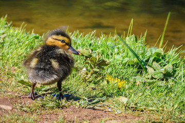 Cute duckling in Santiago de Compostela, Spain