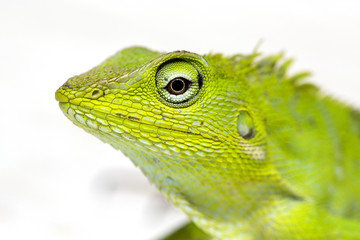 Portrait of a small green iguana in profile on the tropical island Bali, Indonesia. Close up
