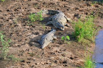 Nile crocodile in Kruger National park region Letaba in South Africa