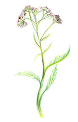 Drawing. Yarrow with pink flowers buds on a long green stem with leaves on a white background. Hand-drawn paper on paper botanical illustration with colored pencils