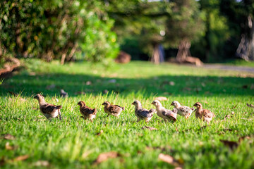 Many chicks are aligned and walking on green grass to the left.
