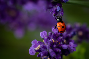 Lady bug on a lavender flower