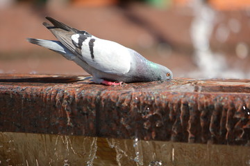 Pigeons on a hot day look for every opportunity to quench their thirst with water even from the city fountain.