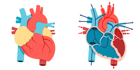 Human heart and Blood flow