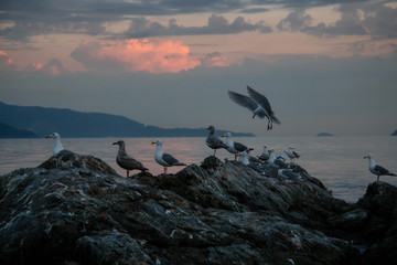 Flock of seagull on a rocky island during a vibrant sunset. Taken in Howe Sound, North of Vancouver, British Columbia, Canada.