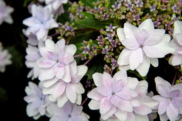 Hydrangea flowers are beautiful.