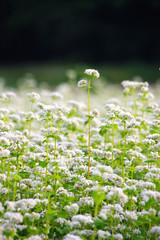 そばの花(福島県・喜多方市)