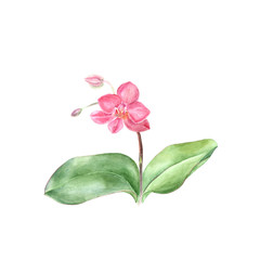 Botanical watercolor illustration sketch of Pink Phalaenopsis with green leaves on white background on white background. Could be used as decoration for web design, cosmetics design, package, textile