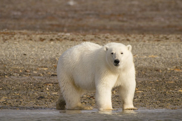 Poster Ijsbeer Polar bear portrait standing on land in the Arctic staring (Urus maritimus)