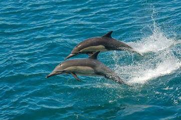 Two dolphins jumping in the ocean in the Sea of Cortez (Baja California, Mexico) - Delphinus delphin