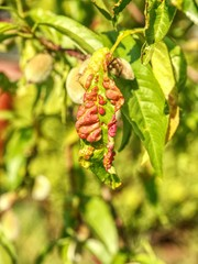 Damaged leaf peach almond Taphrina deformans disease cloque.