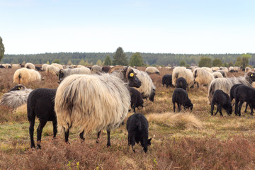 Flock of moorland sheep Heidschnucke with young lambs in Lüneburg Heath near Undeloh and Wilsede, Germany