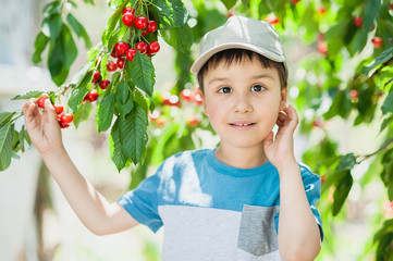Child pics a cherry from the tree. healthy childhood, vacations in the village.