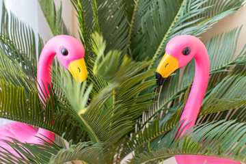 close-up of Two pink flamingos in studio.