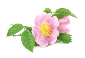 Rose hips (Rosa canina) blossom isolated on white background