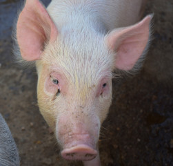 Close Up look into the face of a Cute Pink Pig