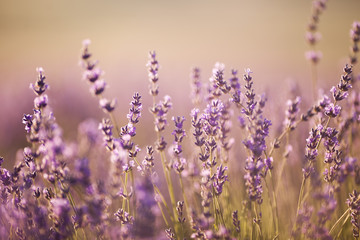 beautiful lavender field at sunset