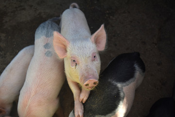 A Piglet Stepping on Other Pigs to Get Taller