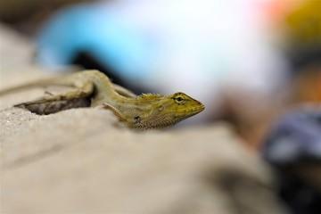 Lizard on the roadside , macro close- up nature animal small.