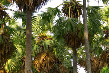Group of sugar palm by close up to the top, see the leaves and fruit, sunlight shines down to the palm tree.