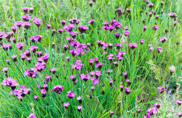 Pink wild carnations (Diantus deltoides) on Transylvanian intact fields at summertime.