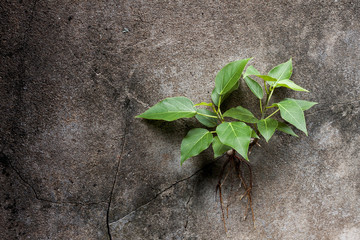 Young Bodhi tree grows in a cracked on the wall