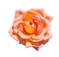 fully open gentle rose flower under sunlight in spring natural isolated on white background with clipping path.