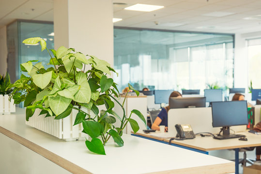 Selective focus on green plant in the pot with blurred light interior of open work space office with desks, computers and working people. Business concept. Copy space.
