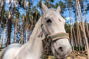 White Horse's head with bridle, close-up outdoor shot.
