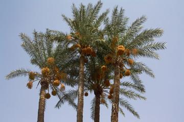 Dattier à Marrakech - Maroc