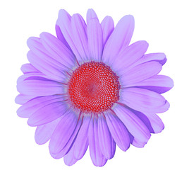 Flower lilac red daisy isolated on white background. Close-up. Element of design.