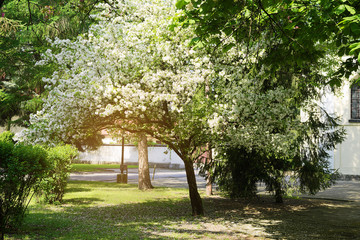 Siberian crab apple, Manchurian crab apple or Chinese crab apple, Malus Baccata in blossom. White flowers growing on blooming tree in park. Spring in the garden.