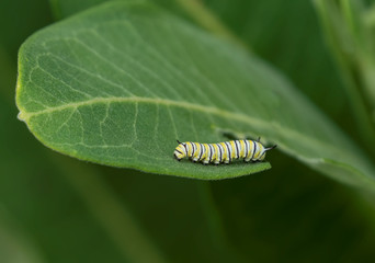 Monarch Butterfly Caterpillar on a Milkweed Leaf