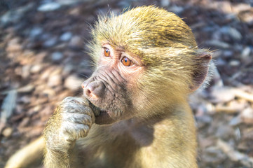 Baby baboon in thinking pose closeup portrait