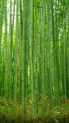 Aluminium Prints Bamboo Ggreen bamboo plant forest in Japan zen garden