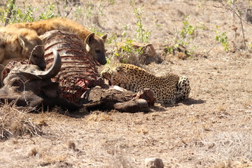 Hyenas and leopard eating a buffalo