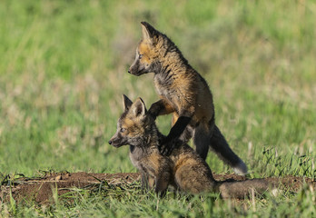 A Better View - A red fox kit climbs up on the back of its sibling for a better view. Silverthorne, Colorado.