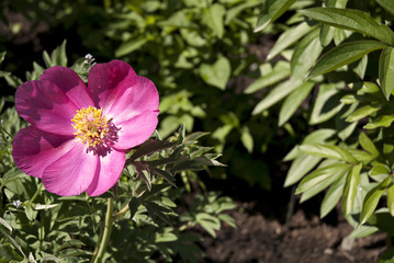 fleur rose et jaune