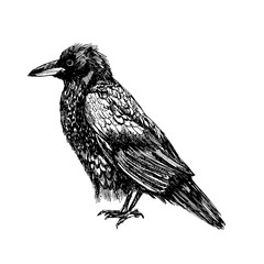 standing crow sketch. isolated vector. white background